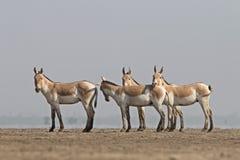 Indiański dziki osioł Zdjęcia Royalty Free