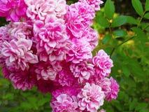 Indiański farby muśnięcia kwiat, Castilleja Obraz Stock