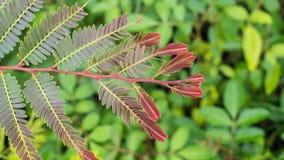 Indiański jagoda liść Zdjęcia Stock