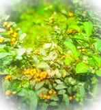 Indiański owoc drzewo zdjęcia stock