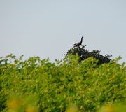 Indiański Peafowl Siedzi na gałąź na górze drzewa - paw - Fotografia Stock