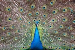 Indiański peafowl z rozpieczętowanym ogonem zdjęcia stock