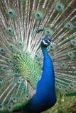 Indiański peafowl z rozpieczętowanym ogonem obraz stock