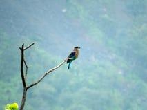 Indiański rolkowy ptasi obsiadanie na drzewie obrazy stock