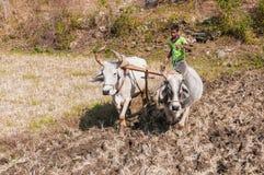 Indiański rolnik target40_1_ pole z dwa wołami Obraz Stock