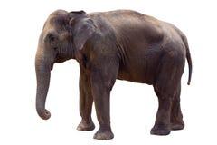 Indiański słoń Obrazy Royalty Free