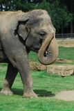 Indiański słoń obrazy stock