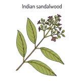 Indiański sandałowy Santalum album, lecznicza roślina ilustracja wektor