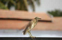 Indiański stawowy czapli ptasi tyczenie na żelaznym prąciu czekać na swój zdobycza i gra główna rolę przy kamerą z terakota dache zdjęcia stock