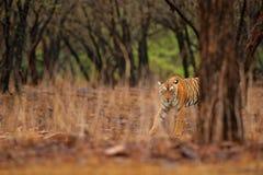 Indiański tygrys, dziki niebezpieczeństwa zwierzę w natury siedlisku, Ranthambore, India Duży kot, zagrażający zwierzę, ładny fut Fotografia Royalty Free