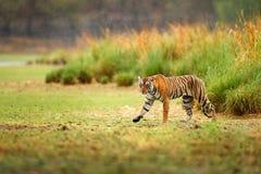 Indiański tygrys z pierwszy deszczem, dziki niebezpieczeństwa zwierzę w natury siedlisku, Ranthambore, India Duży kot, zagrażając Obrazy Royalty Free