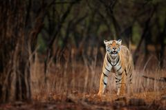Indiański tygrys z pierwszy deszczem, dziki niebezpieczeństwa zwierzę w natury siedlisku, Ranthambore, India Duży kot, zagrażając Obraz Royalty Free