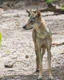 Indiański wilk fotografia royalty free