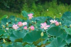Indiańskiego lotosu święci lotosowi kwiaty zdjęcia royalty free