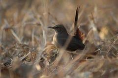 Indiańskiego rudzika żeński ptak należy hydrabad miasto zdjęcie stock