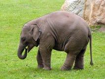 Indiańskiego słonia dziecko Obrazy Royalty Free
