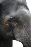 Indiańskiego słonia twarz Fotografia Royalty Free