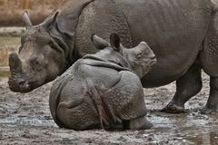 Indiańskiej nosorożec matka i dziecko w pięknej natury przyglądającym siedlisku Obraz Royalty Free