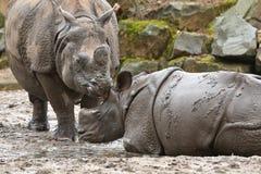 Indiańskiej nosorożec matka i dziecko w pięknej natury przyglądającym siedlisku Fotografia Stock