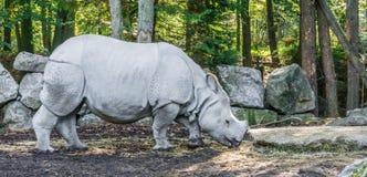 Indiańskiej nosorożec zbliżenia zwierzęcy portret lub rzadcy zagrażający zwierzęcy gatunki fotografia stock