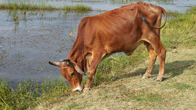 India / Bangladesh Cow Grazing & Waving Tail Royalty Free Stock Image