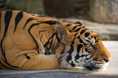 India Bengal Tiger head crouching on wooden.  Stock Photos