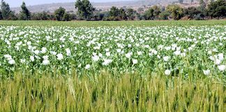 India, Bijaipur: Opium poppy field Royalty Free Stock Photo
