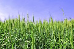 India, Chittorgarh: Green wheat Royalty Free Stock Photo
