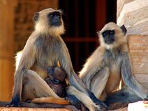 India, Chittorgarh: monkeys Royalty Free Stock Photo