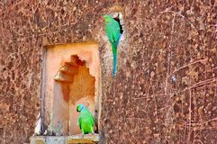India, Chittorgarh: parakeets Stock Photos