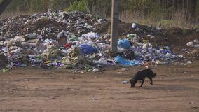 Homeless street dogs search for food in garbage trash. country dump. INDIA - CIRCA JUNE 2016 - Homeless street dogs search for food in garbage trash, Mumbai stock video