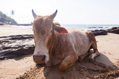 India, a cow on the beach Stock Photos