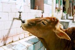 India, de koe. Stock Fotografie