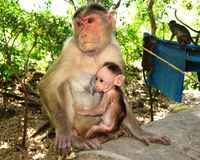 India Elaphanta Caves monkey and baby Royalty Free Stock Photography