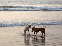 Sweet Indian dogs' love royalty free stock image