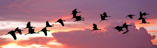 India, Flock of cranes at sunset: Vector Royalty Free Stock Image