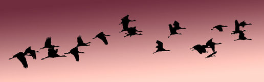 India, Flock of cranes: Vector. India, Flock of cranes at sunset: Vector; pink sky and black birds silhouettes Royalty Free Stock Image