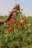 India Former Showing Red Chilli. Former Holding Red chilli in the field Royalty Free Stock Photo