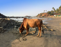 India. Goa. Sacred cow on a beach Royalty Free Stock Image