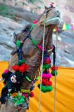 India, Jodhpur: Camel Royalty Free Stock Photo
