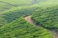 India, Kerala. Tea Plantation in the Cardamam mountains Royalty Free Stock Photos