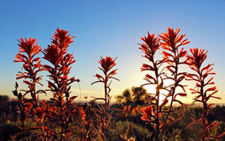 India Paintbrush, La Jolla, California. India Paintbrush are blooming by the coast of La Jolla, Torrey Pines State Park in 2017 year super-bloom royalty free stock images