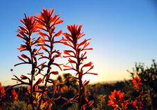 India Paintbrush, La Jolla, California. India Paintbrush are blooming by the coast of La Jolla, Torrey Pines State Park in 2017 year super-bloom stock images