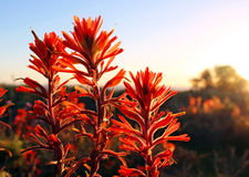 India Paintbrush, La Jolla, California. India Paintbrush are blooming by the coast of La Jolla, Torrey Pines State Park in 2017 year super-bloom royalty free stock image