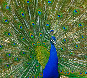 India peafowl Stock Images