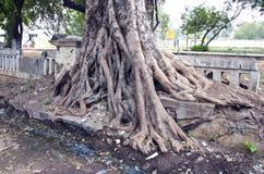 India, Puducherry tree roots Stock Photos