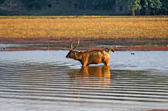India, Ranthambore: Deers Royalty Free Stock Photos