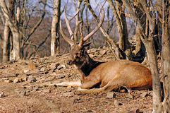 India, Ranthambore: Deers Royalty Free Stock Photo