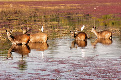India, Ranthambore: Deers Stock Photos