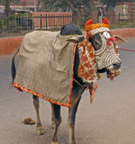 India - sacred cow. Highly decorated sacred cow. Northern India royalty free stock photos
